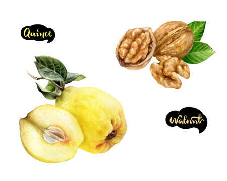 Quince walnut set watercolor isolated on white background Фото со стока