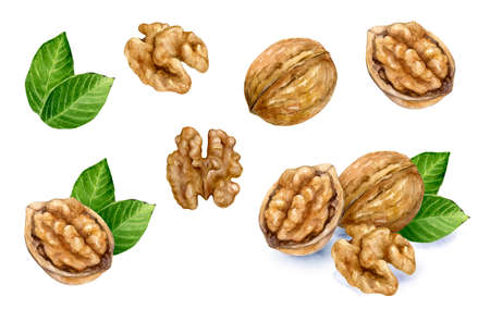 Walnut set watercolor isolated on white background