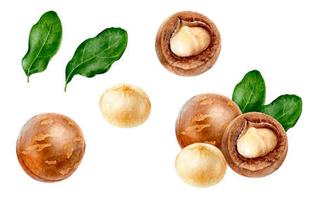 Macadamia set watercolor isolated on white background