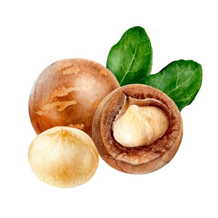 Macadamia composition watercolor isolated on white background