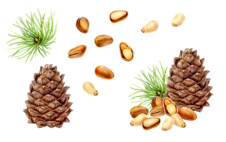 Pine nut set composition watercolor isolated on white background Stok Fotoğraf