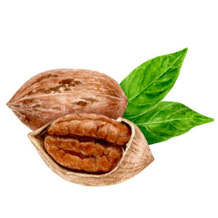 Pecan nut composition watercolor isolated on white background