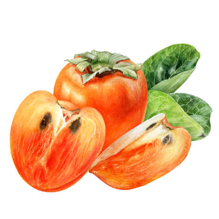 Persimmon fruit watercolor hand drawn illustration isolated on white background. Фото со стока