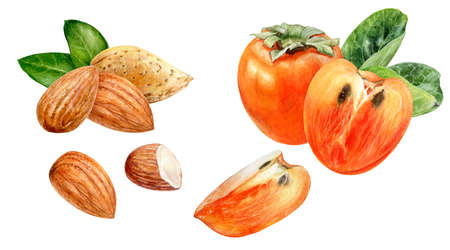 Persimmon almond watercolor hand drawn illustration isolated on white background.