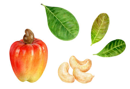 Cashew watercolor hand drawn illustration isolated on white background.