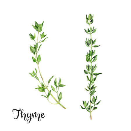 Thyme herb watercolor hand drawn illustration isolated on white background.