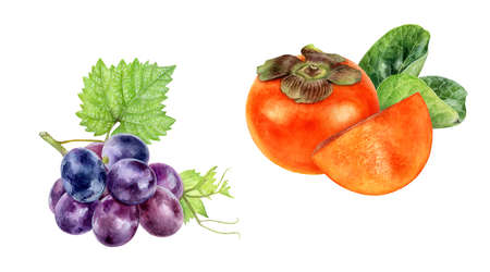 Persimmon grape watercolor hand drawn illustration isolated on white background.