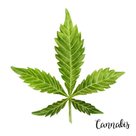 Watercolor illustration. Marijuana leaves on a white background. Фото со стока