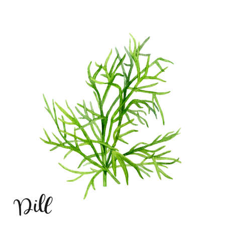 Dill herb watercolor hand drawn illustration isolated on white background. Banco de Imagens