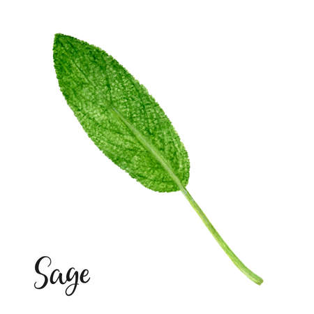 Sage herb watercolor isolated on white background