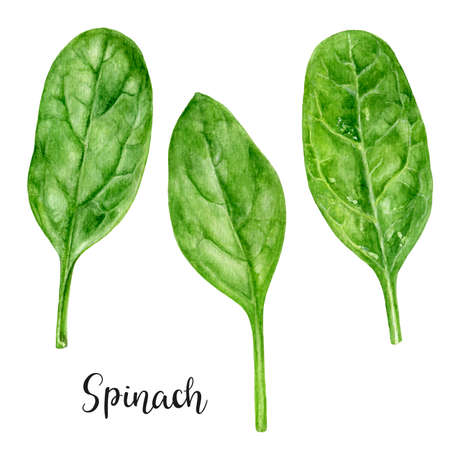 Spinach herb watercolor hand drawn illustration isolated on white background.