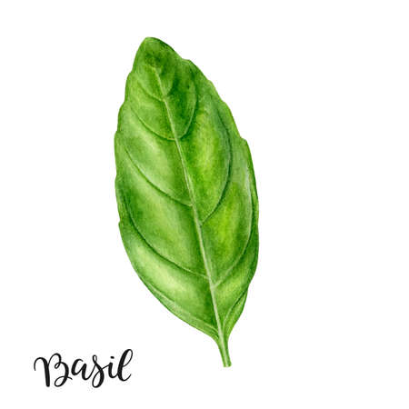 Basil leaf herb watercolor isolated on white background