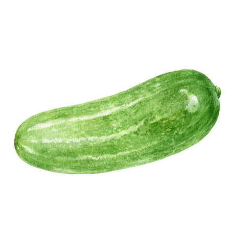 Cucumber watercolor hand drawn illustration isolated on white background. Фото со стока