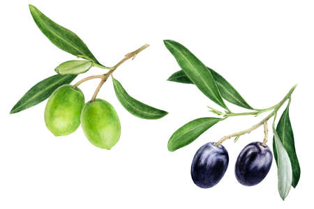 Black and green olives with leaves watercolor isolated on white background