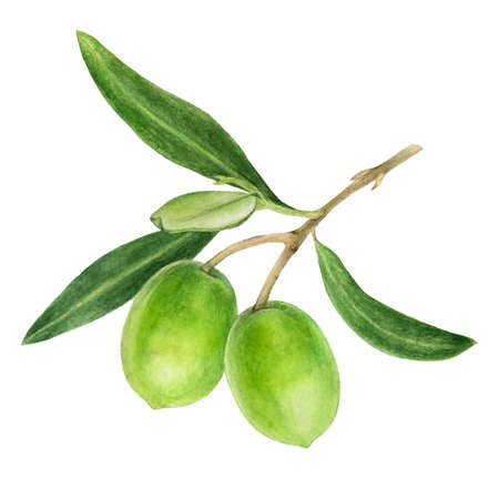 Green olives with leaves watercolor isolated on white background