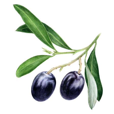 Black olives with leaves watercolor hand drawn illustration isolated on white background.