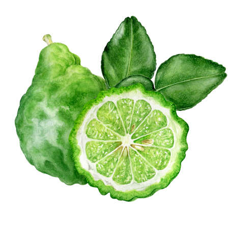 Bergamot with leaves watercolor isolated on white background