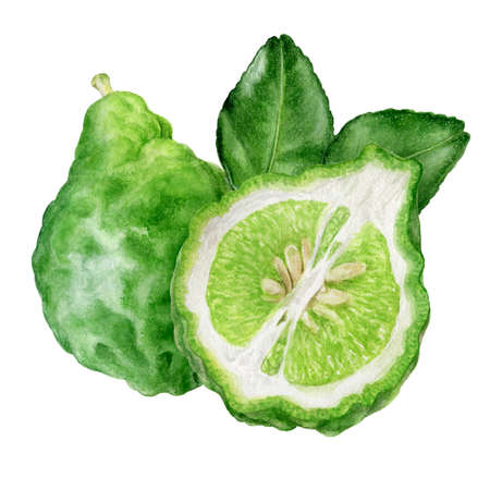 Bergamot with leaves watercolor hand drawn illustration isolated on white background.