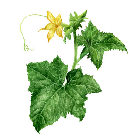 Cucumber flower watercolor hand drawn illustration isolated on white background.