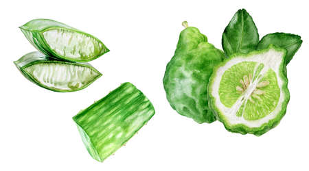 Bergamot with leaves aloe vera watercolor hand drawn illustration isolated on white background.