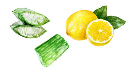 Aloe vera watercolor lemon hand drawn illustration isolated on white background.