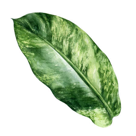 Tropical leaf aglaonema watercolor isolated on white background Reklamní fotografie