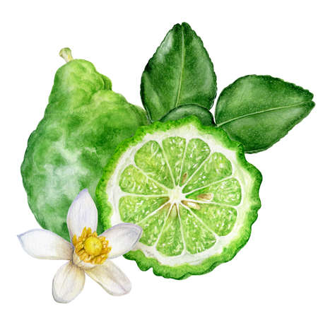 Bergamot with leaves and flower watercolor hand drawn illustration isolated on white background.