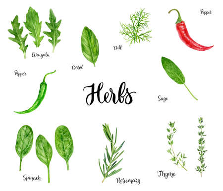 Arugula, basil, dill, hot pepper, sage, spinach, rosemary, thyme kitchen herbs set. Watercolor hand drawn illustration isolated on white background.