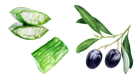 Aloe vera olives watercolor hand drawn illustration isolated on white background. Reklamní fotografie