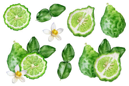 Bergamot with leaves and flower set watercolor hand drawn illustration isolated on white background.