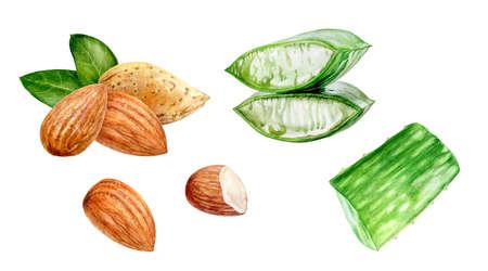 Aloe vera almond watercolor hand drawn illustration isolated on white background. Reklamní fotografie