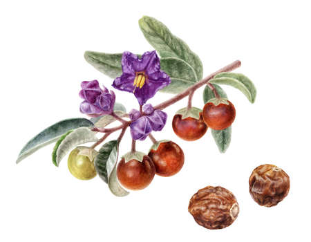 Australian spice plant Solanum centrale or bush tomato watercolor illustration isolated on white background Banque d'images