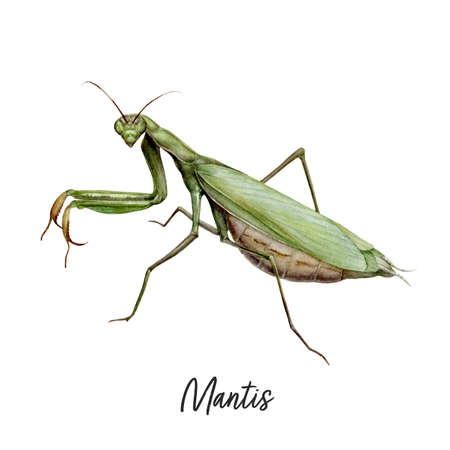 Praying Mantis insect watercolor illustration isolated on white background