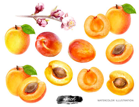Apricot big set watercolor illustration isolated on white background Zdjęcie Seryjne