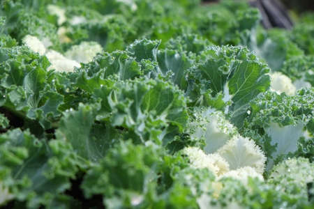 organically: Green vegetables food background as a healthy eating concept of fresh garden produce organically grown as a symbol of health