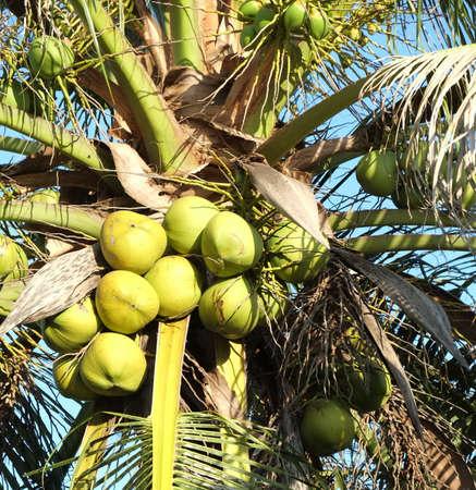 frash: Close up of coconut palm tree Stock Photo