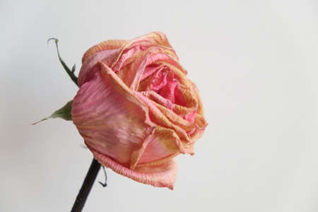 wilted: Close up of pink wilted rose on light background