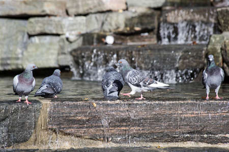 Bird in the City. Pigeon cleans its feathers in the water. Close up of pigeon bathing in the pond.