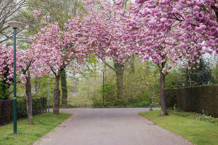 Kirschbäume in rosa Blüte in einer schönen gemütlichen Straße Standard-Bild