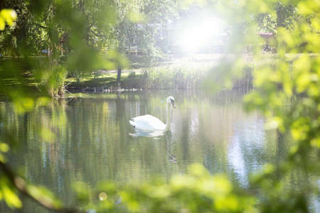White swan on a river with green leafs and sunlight, swimming in nature 版權商用圖片