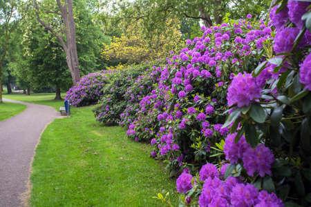 beautiful spring green park with many purple flowers along walk path Reklamní fotografie