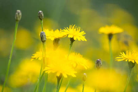 Dandelion yellow fiel in the summer close-up, beautiful nature Imagens