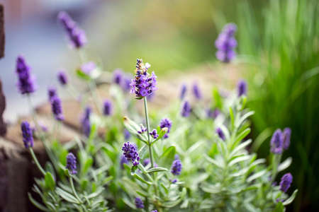 Lavender flowers in the garden, beautiful herbs. soft focus Reklamní fotografie - 124903346