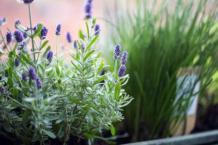 Lavender flowers in the garden, beautiful herbs. soft focus Reklamní fotografie - 124903347