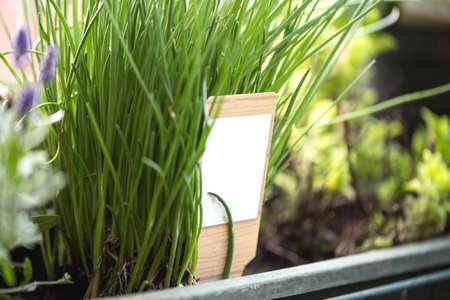 ciboulette poussant dans un jardin, herbes de jardinage