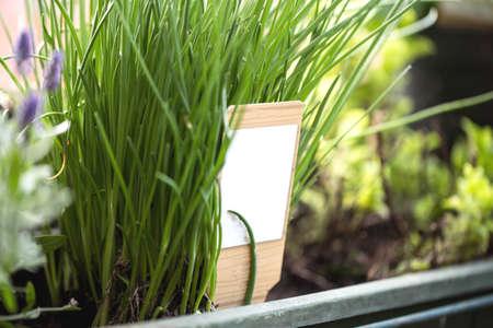 Schnittlauch wächst in einem Garten, Gartenkräuter