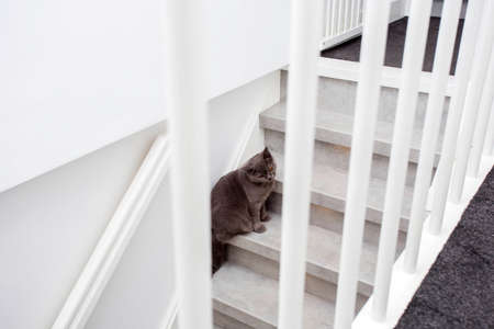 Gray purebred British cat sitting on the stairs in a modern home close-up