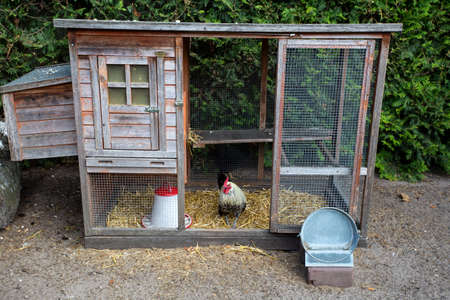 colorful white rooster in the wooden henhouse