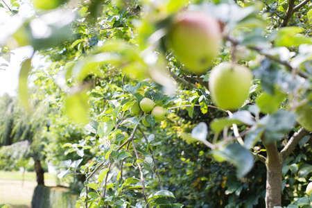 Fresh ripe apples hanging from a tree in the summer season, ready for harvest sunlight Reklamní fotografie