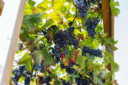 Bunch of blue grapes and green leafs on the vine hanging, for winemaking